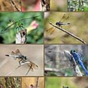 Dragonfly Collage 3 Poster