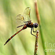 Dragonfly Gold Poster