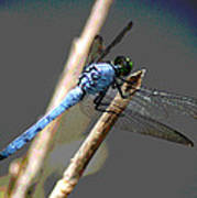 Dragonfly - Great Blue Skimmer Poster