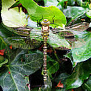 Dragonfly In An English Garden Poster