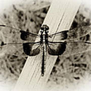 Dragonfly In Sepia Poster