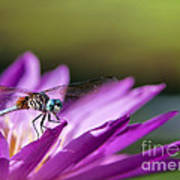 Dragonfly Macro On A Water Lily Poster