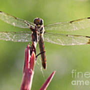 Dragonfly Macro On Top Of A Flowering Plant Poster