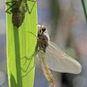 Dragonfly Metamorphosis - Eighth In Series Poster