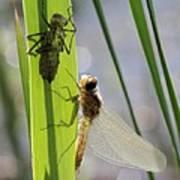 Dragonfly Metamorphosis - Seventh In Series Poster
