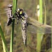 Dragonfly Newly Emerged - Third In Series Poster
