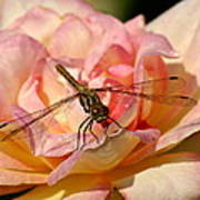 Dragonfly On A Rose Poster