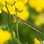 Dragonfly On Birds-foot Trefoil Poster