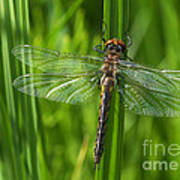 Dragonfly On Grass Poster