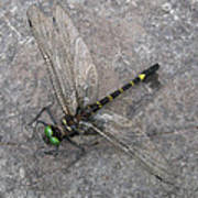 Dragonfly On Rock Poster