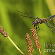 Dragonfly On Seed Pod 2 Poster