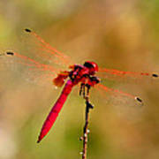 Dragonfly Paintings Poster