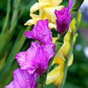 Dramatic Gladiolus Poster
