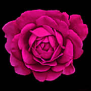 Dramatic Hot Pink Rose Portrait Poster