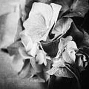 Dramatic Hydrangea In Black And White Poster