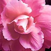 Dramatic Pink Begonia Floral Poster by Jennie Marie Schell