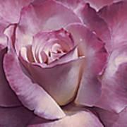 Dramatic Plum Rose Flower Poster