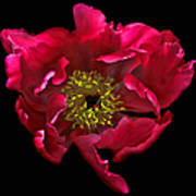 Dramatic Red Peony Flower Poster