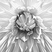 Dramatic White Dahlia Flower Monochrome Poster