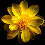 Dramatic Yellow Dahlia Poster