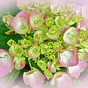 Dreaming Of Pink Hydrangeas Poster