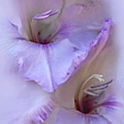 Dreams Of Purple Gladiola Flowers Poster