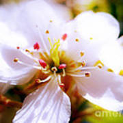 Dreamy Cherry Blossom Poster