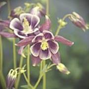 Dreamy Columbine Flowers Poster by Cathie Tyler