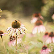Dreamy Coneflowers Poster
