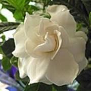 Dreamy Creamy Gardenia Poster