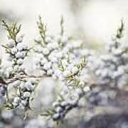 Dreamy Pastel Juniper Berries Poster