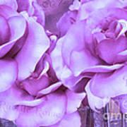 Dreamy Shabby Chic Purple Lavender Paris Roses - Dreamy Lavender Roses Cottage Floral Art Poster