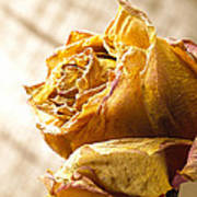 Dried Yellow Rose Poster