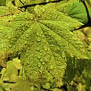 Dripping Vine Maple Poster