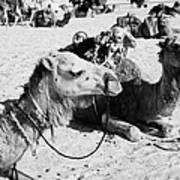 dromedary camels sitting in the sand with saddles in the sahara desert at Douz Tunisia Poster