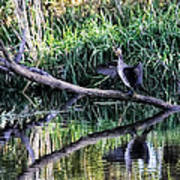 drying cormorant- Black bird sitting on log over water Poster
