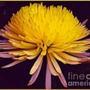 Dual Coloured Chrysanthemum Poster