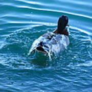Duck Bath Poster