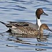 Duck Duo Poster