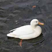 Duck Getting Feet Wet Poster