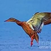 Duck Landing Poster