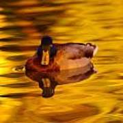 Duck On Golden Water Poster