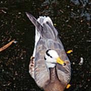 Duck Portrait Poster