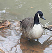 Duck Wading In A Stream Poster