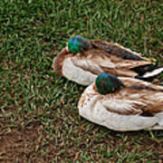 Ducks At Rest Poster