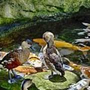 Ducks At The Koi Pond Poster