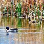 Ducks In A Marsh Poster