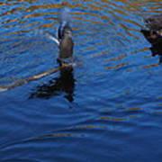 Ducks Poster