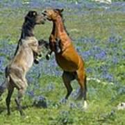 Dueling Mustangs Poster