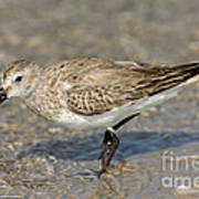 Dunlin Calidris Alpina In Winter Plumage Poster